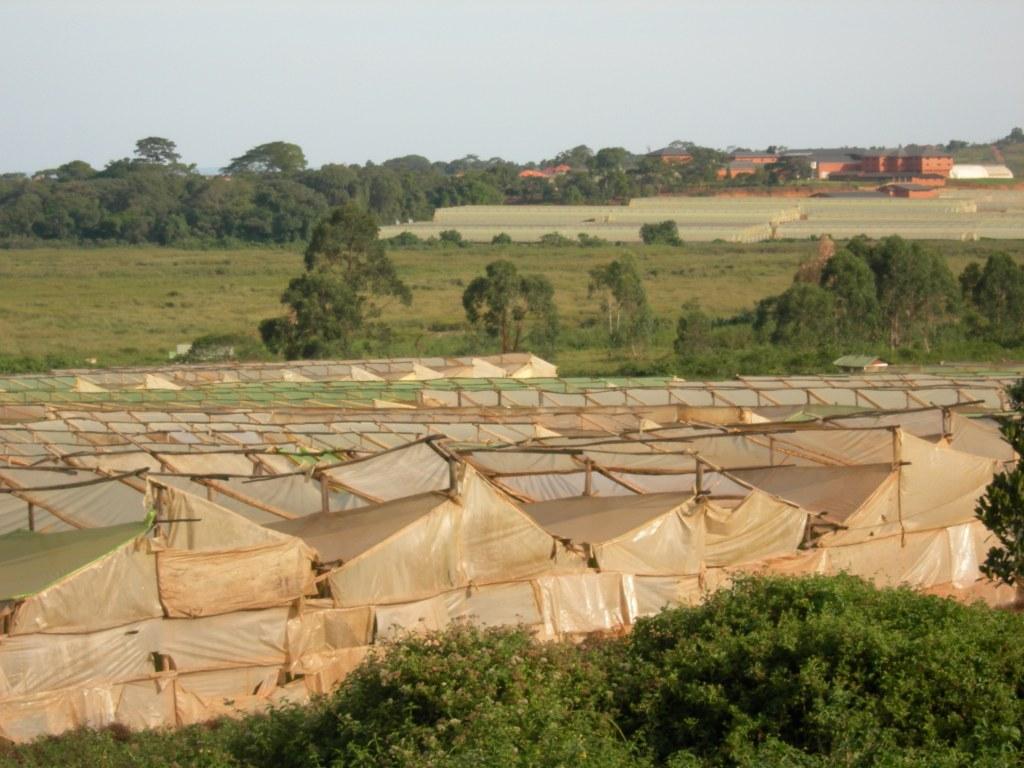 Flower farms near Entebbe 4