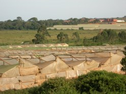 Flower farms near Entebbe 4